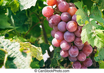Purple grape vines