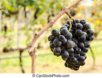Purple grape wine making - Purple grapes on a farm used for...
