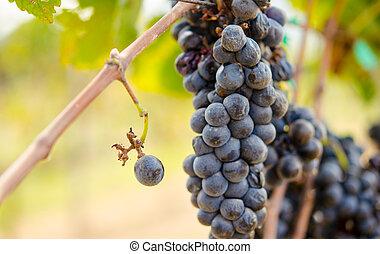Purple grape wine making