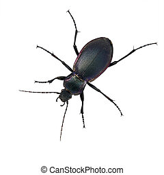 Purple ground beetle - carabid - Carabus problematicus, over...