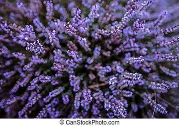 Purple heather field in natural surroundings