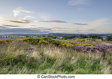 Purple Heather in flower at sunset
