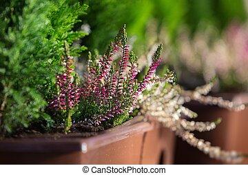 Purple heather - small focus