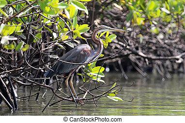 Purple heron (Ardea purpurea) in Gambia, selective focus