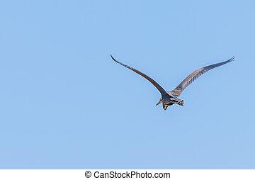 Purple Heron in flight blue sky (Ardea cinerea)