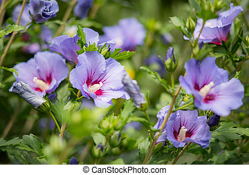 Purple hibiscus flower