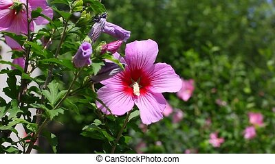 purple hibiscus flower with green leaves