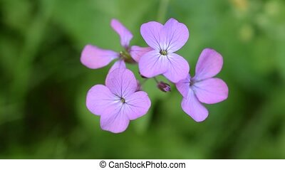 Purple honesty flower on blurred green background. Lunaria