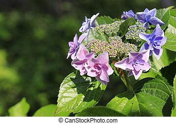 purple), hortensja, (bluish