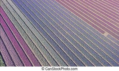 purple hyacinth field in netherlnds. drone fly - drone fly...
