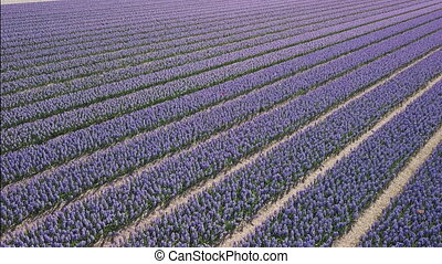purple hyacinth field in netherlnds. drone fly