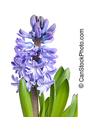 Purple Hyacinth flower in closeup over white background