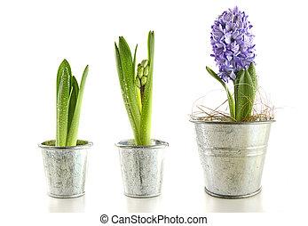 Purple hyacinth in garden pots on white background