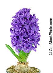 One beautiful purple hyacinth isolated on white