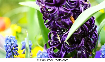 Purple hyacinths close-up. The camera moves back on the slider. Color correction.