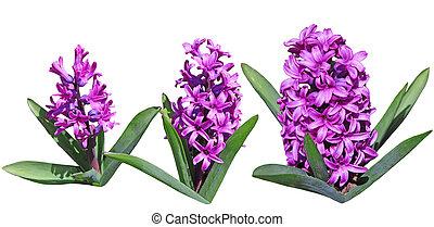 Purple Hyacinths Flowers