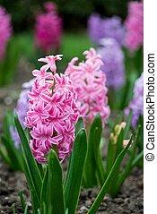 Purple hyacinthus flower