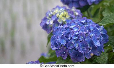 Purple Hydrangea flower in the garden