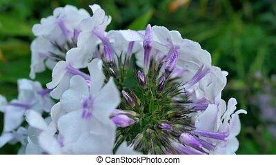 Purple Hydrangea Flowers Close-Up on a Bush.