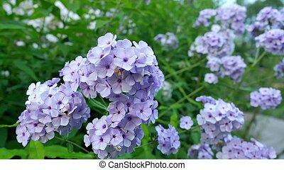 Purple Hydrangea Flowers in the Garden