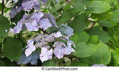 Purple hydrangea plant in the wild