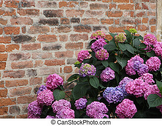Purple hydrangeas bloomed with tiny flowers with an old red brick wall