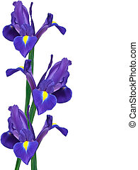 purple iris flower isolated on white background