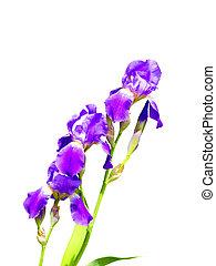 purple iris flower on a white background