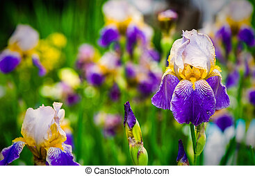 purple iris flower on green background