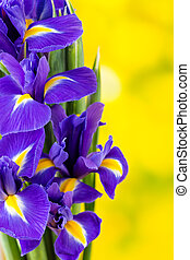 Purple iris flower on the yellow background.