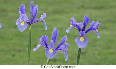 Purple Iris flowers blossom in spring