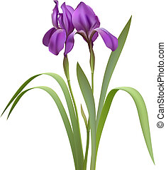 Purple Iris Flowers Isolated on White Background. Vector...