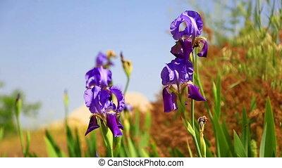 iris flowers on wind
