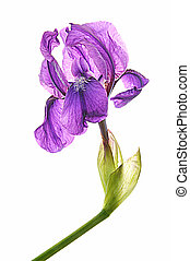 Purple iris on white isolated background