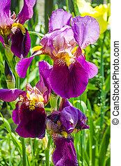 purple irises blooming in the garden