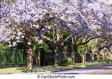 Purple jacaranda trees in full bloom