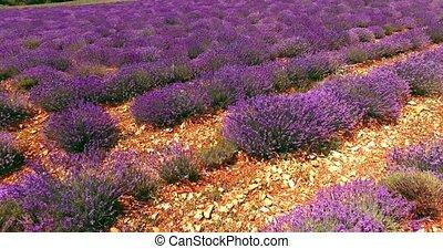 Purple lavender field - Aerial view of lavender fields....