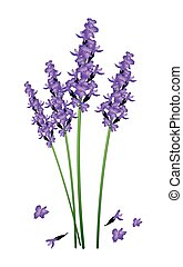Purple Lavender Flowers on A White Background - Beautiful...