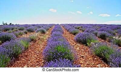 Purple lavender plants - Summer landscape of lavender fields...