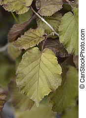 Purple-leaved filbert leaves - Latin name - Corylus maxima ...