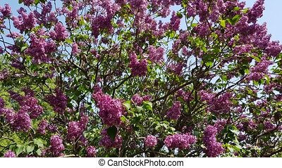 Purple lilac blooms on a lush bush with green foliage....