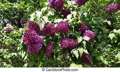 purple lilac blooms - Purple lilac blooms on a lush bush...