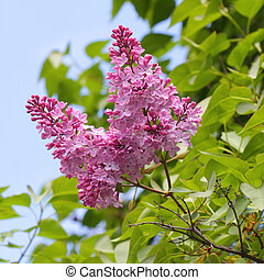 Purple lilac blossom blooming in springtime