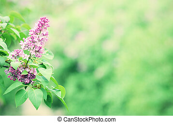 Purple lilac blossom blooming in springtime with green bokeh bac