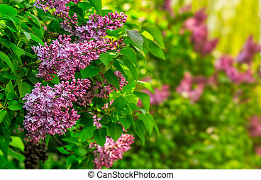 purple lilac blossom in garden at springtime - beautiful...