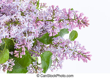 Purple lilac branch - a branch of purple lilac on a white ...