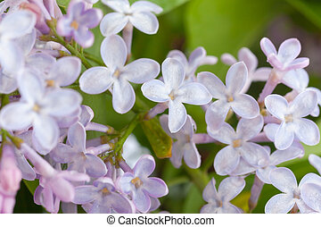 Purple lilac branch - purple lilac branch, used as a ...