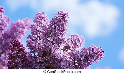 Close-up oof blossoming lilac .