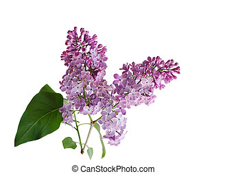 Purple Lilac Flower