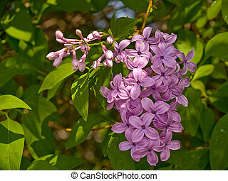 Purple Lilac Flowers 2
